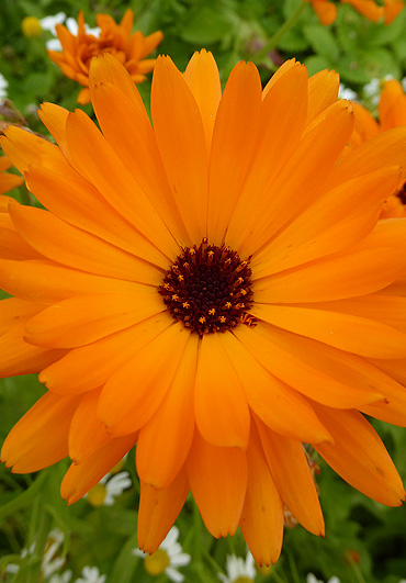 Marigold - A Case Study by the Medicine Garden Cumbria